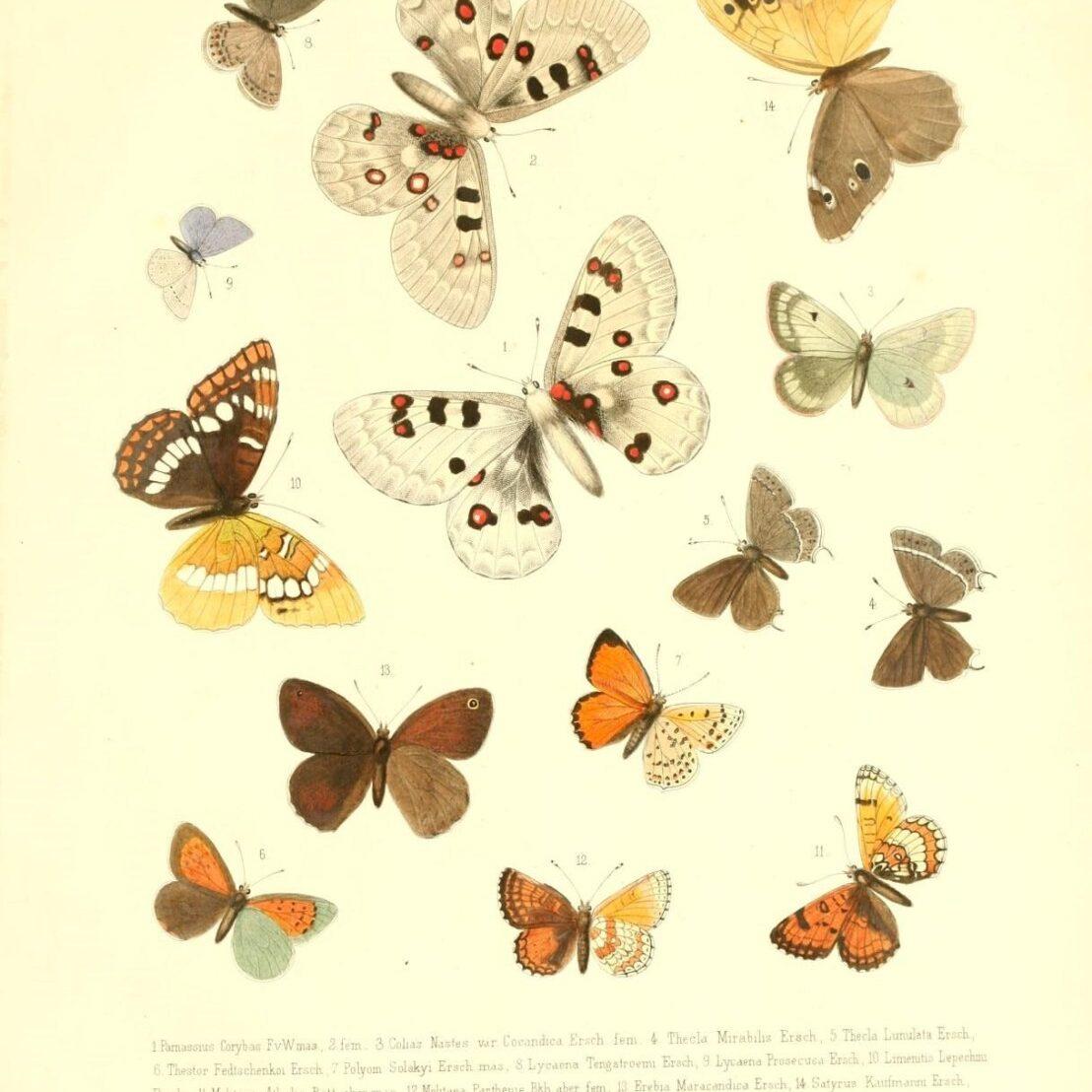 Butterflies from BHL