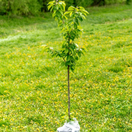 Plant a tree for the Jubilee2